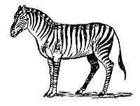 Lear 3 - Zebra.jpg