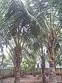 Leaves and trees palavangudi jpg 43.jpg