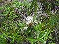 Ledum groenlandicum 2-eheep (5097487541).jpg
