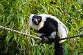 Lemur (26516419028).jpg