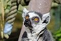 Lemur (27618361068).jpg