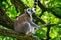 Lemur (35782752303).jpg