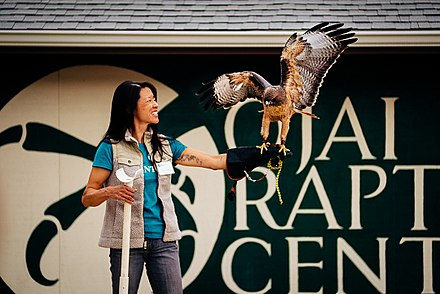 A trained red-tailed hawk working with a volunteer from the Ojai Raptor Center Lena Chang (41351815842).jpg