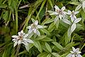 Leontopodium japonicum 09.jpg