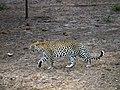 Leopard - Sabi Sabi - South Africa.jpg