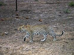 ca530560bc23 Леопард в южноафриканском заповеднике