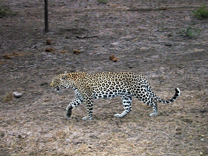 Datei:Leopard - Sabi Sabi - South Africa.jpg