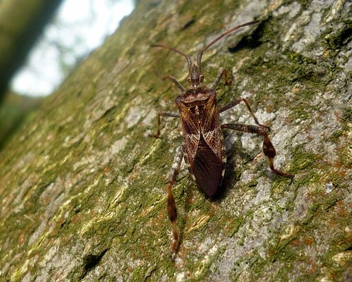 Leptoglossus occidentalis Germany