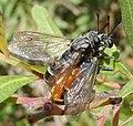Leptomydas lusitanicus. Mydidae - Flickr - gailhampshire.jpg