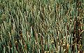 Les Plantes Cultivades. Cereals. Imatge 165.jpg