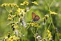Lesser Fiery Copper - Lycaena thersamon 03.jpg