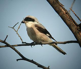 Lesser grey shrike species of bird