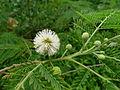 Leucaena leucocephala (5732468687).jpg