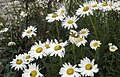 Leucanthemum vulgare from Greece.jpg