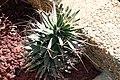 Leuchtenbergia principis 4zz.jpg
