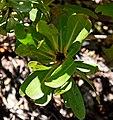 Leucospermum heterophyllum in Dunedin Botanic Garden 01.jpg