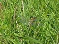 Libelle - Großes Torfmoor.jpg