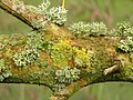 Lichen on Willow - geograph.org.uk - 1274063.jpg