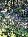 Lilium occidentale 7.jpg