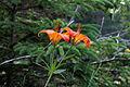 Lilium philadelphicum 5497361.jpg