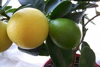 Limequat - A Eustis Limequat