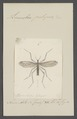 Limnobia - Print - Iconographia Zoologica - Special Collections University of Amsterdam - UBAINV0274 038 03 0037.tif