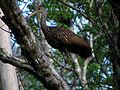 Limpkin - Wekiwa State Park.jpg