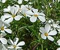 Linanthus nuttallii var pubescens 4.jpg