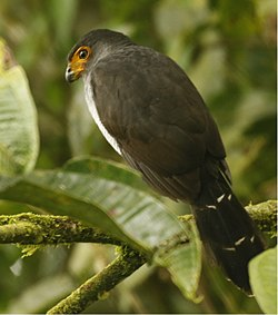 Lined Forest Falcon.jpg