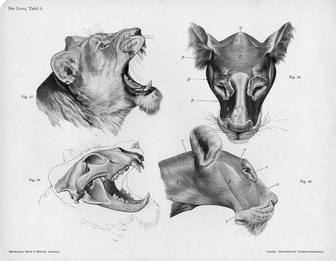 Lion Anatomy Skull Study : LotkaVolterra