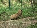 Lion from Bannerghatta National Park 8477.JPG