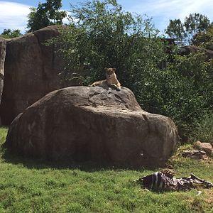 Sedgwick County Zoo - Lioness with (imitated) zebra kill, Sedgwick County Zoo