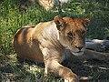 Lions @ Maasai Mara (20630348318).jpg