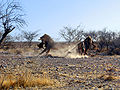 Lions Etosha NP Fight for Prey ArM.jpg