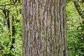Liquidambar styraciflua in Eastwoodhill Arboretum (10).jpg