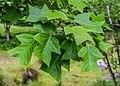 Liriodendron chinense in Hackfalls Arboretum (2).jpg