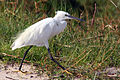 Little (Yellow-footed) egrets.jpg