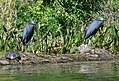 Little Blue Herons (34191911741).jpg