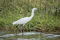 Little egret - Queen Elizabeth National Park, Uganda.jpg