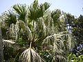 Livistona chinensis (4591320777).jpg