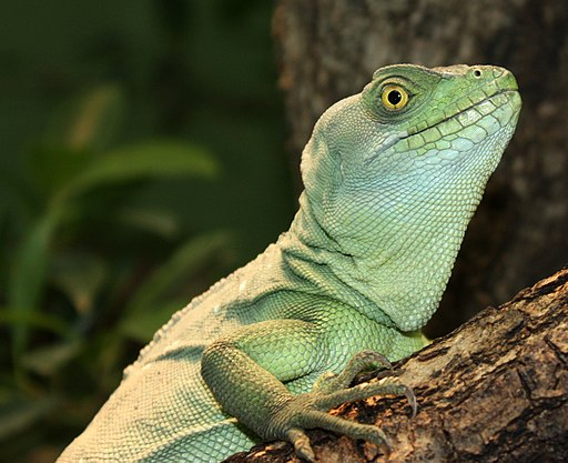 Lizard closeup