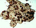 Lobaria quercizans-7.jpg