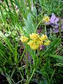 Lomatium bradshawii (8744542097).jpg
