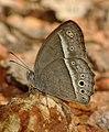 Long-brand Bushbrown Mycalesis visala by Dr. Raju Kasambe IMG 9557 (7).jpg