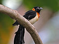 Long-tailed Paradise Whydah RWD2.jpg