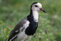 Long-toed lapwing, Vanellus crassirostris, Chobe National Park, Botswana (33064689544).jpg