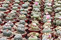 Lophophora williamsii pm 2.JPG