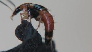 File:Lordithon lunulatus - 2014-05-17.webm