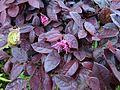 Loropetalum chinense rubrum kz1.jpg