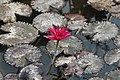 Lotus flower india.jpg